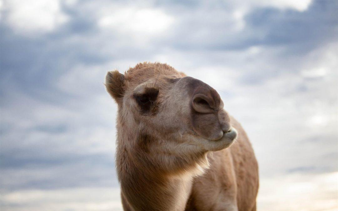Camel's Milk???—A low allergenic alternative to cow's milk